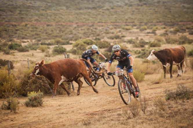 Cape Epic, among the lions...and cows